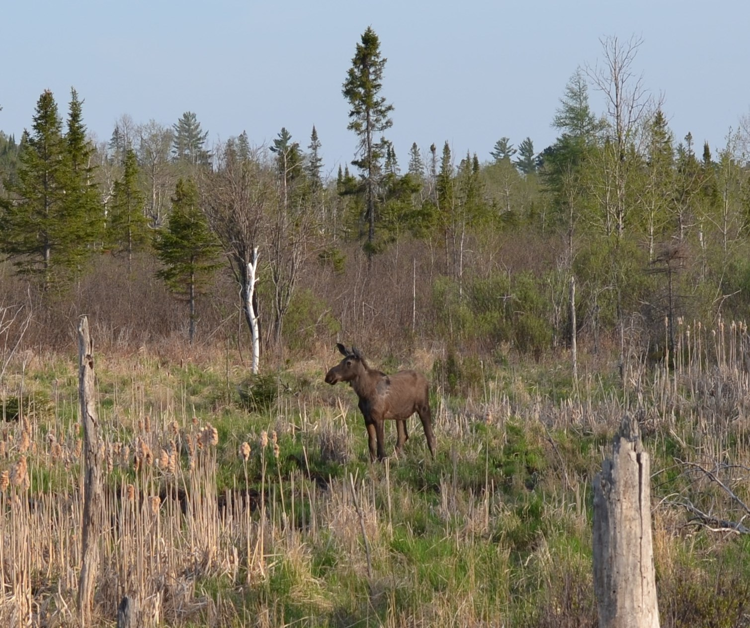 A moose walks in a wetland along U.S. 41 in Marquette County near Michigamme in May.
