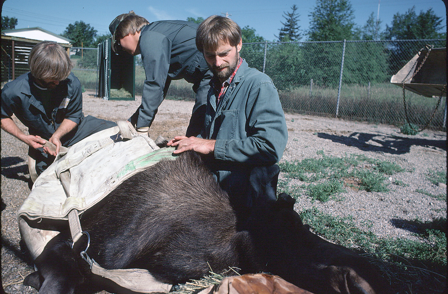 Michigan Department of Natural Resources wildlife veterinarian Steve Schmitt is working out the details of crating a sedated moose at Rose Lake, 1984.