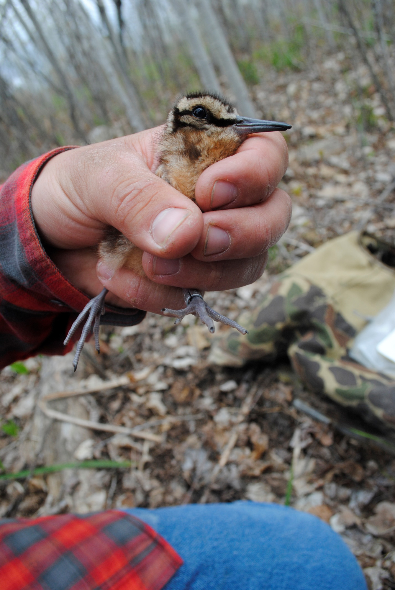 A woodcock chick freshly-banded is shown. The bands around the birds' legs help researchers learn about their seasonal movements.