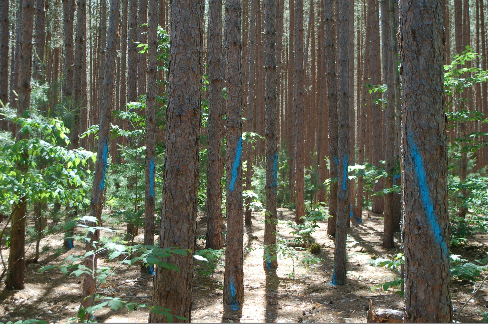 A stand of red pine trees marked for cutting.