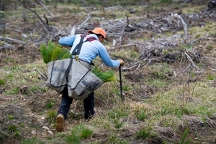 DNR staffer measuring space between seedlings to be planted