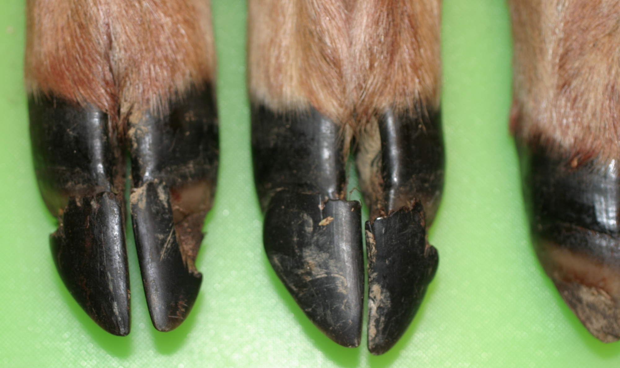 Deer that are exposed to the EHD virus, but do not die from the illness, may show growth interruptions on the hooves and sometimes peeling hoof walls.