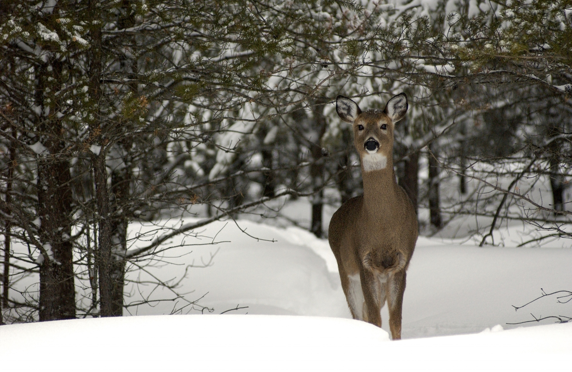 A white-tailed deer in winter is shown. Deer can be affected by epizootic hemorrhagic disease and chronic wasting disease.