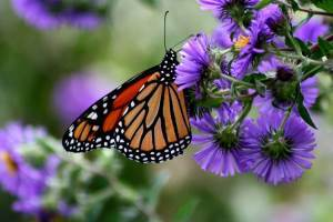 monarch butterfly with purple flowers