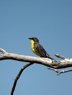 Kirtland's warbler sitting in a tree