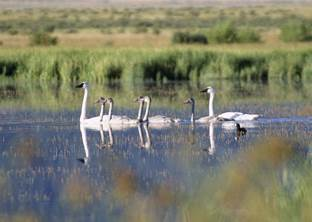 trumpeter swans on the water