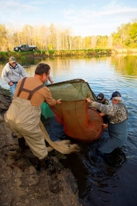 Volunteer members of the West Michigan Walleye Club lift a net of fingerlings out of pond