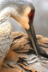 close-up of a sandhill crane
