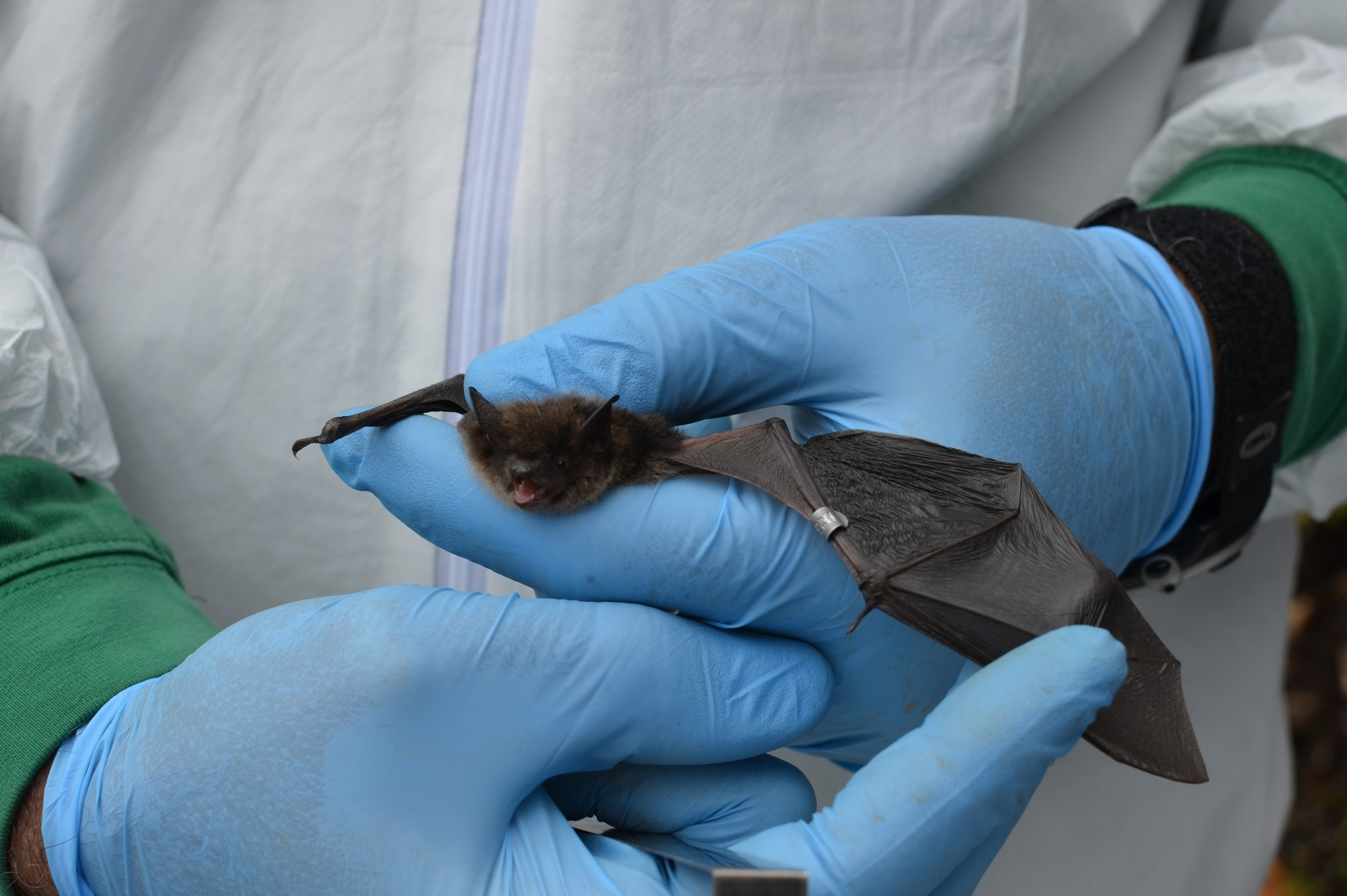 A little brown bat sports an identification band which will help researchers track its movements.