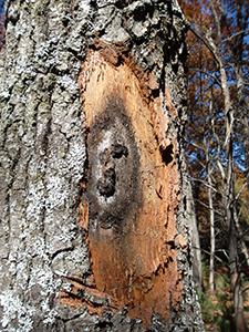 example of oak wilt