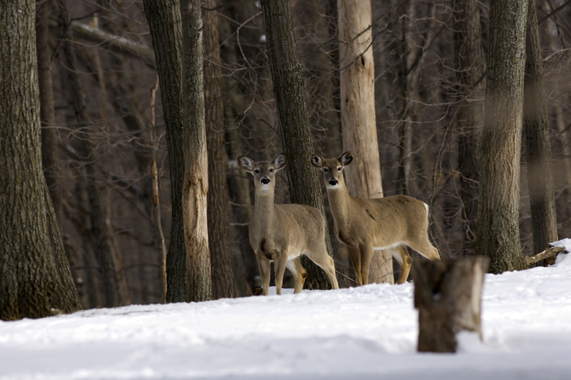 A couple of Michigan white-tailed deer in winter.