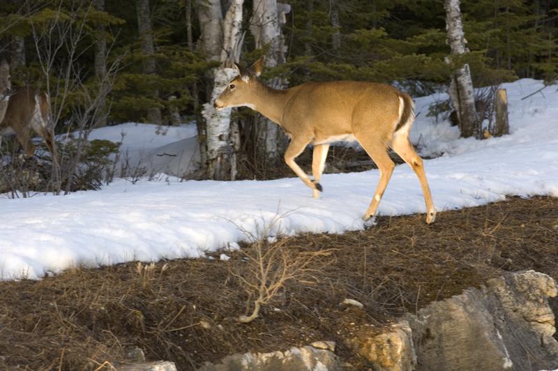 A Michigan deer in winter is shown.