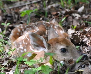 white-tailed deer fawn curled up in the woods