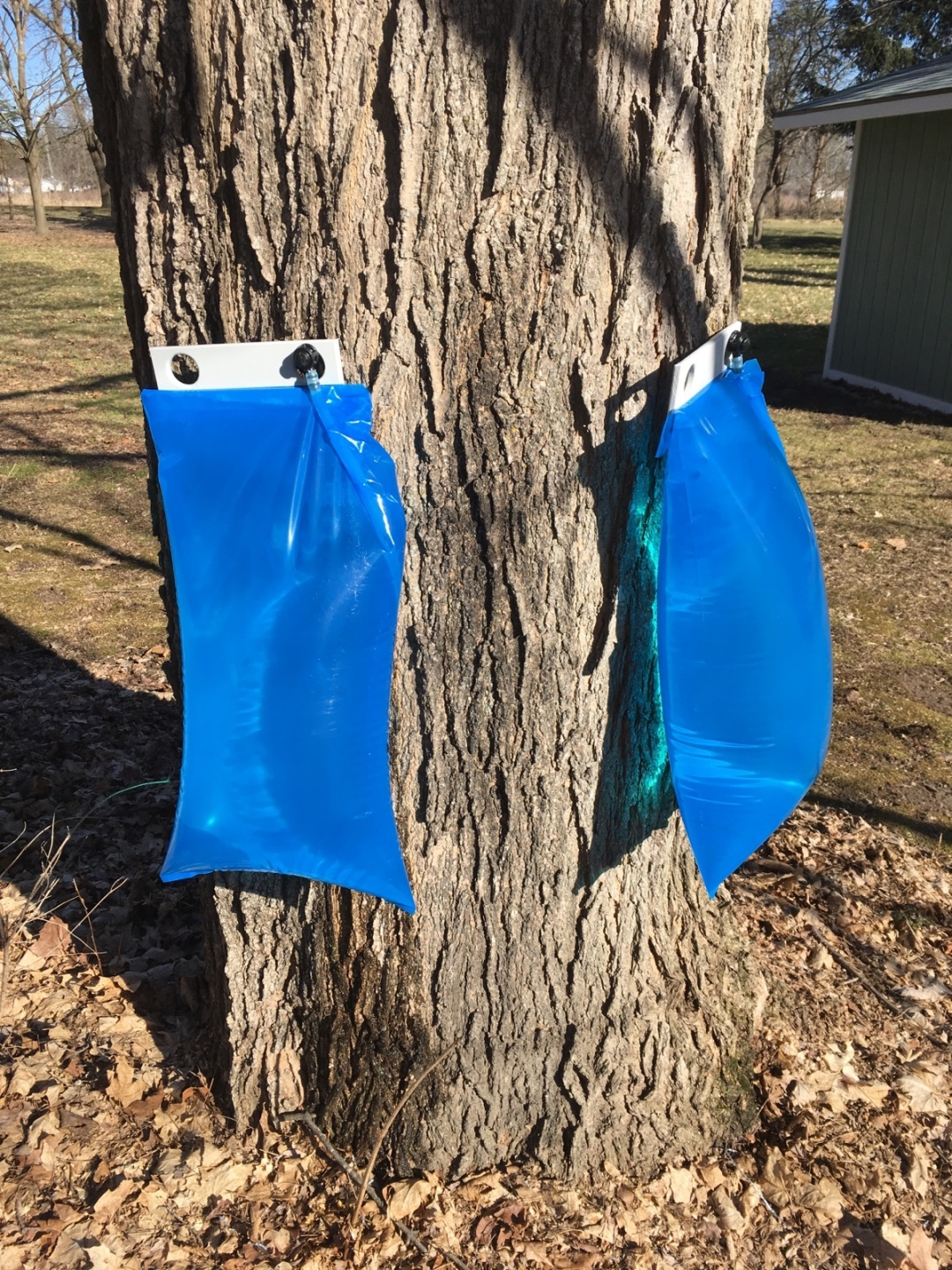 Collection bags overflowing with maple sap on the LeSage property.