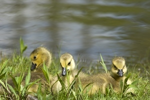 3 goslings in grass near body of water