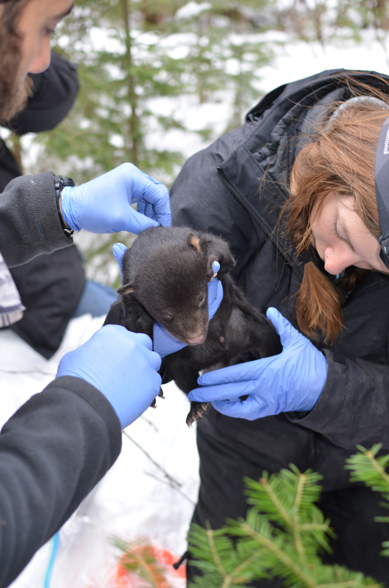 Wildlife researchers hold a bear cub during a black bear den check this past winter in Ontonagon County during the Upper Peninsula predator-prey study