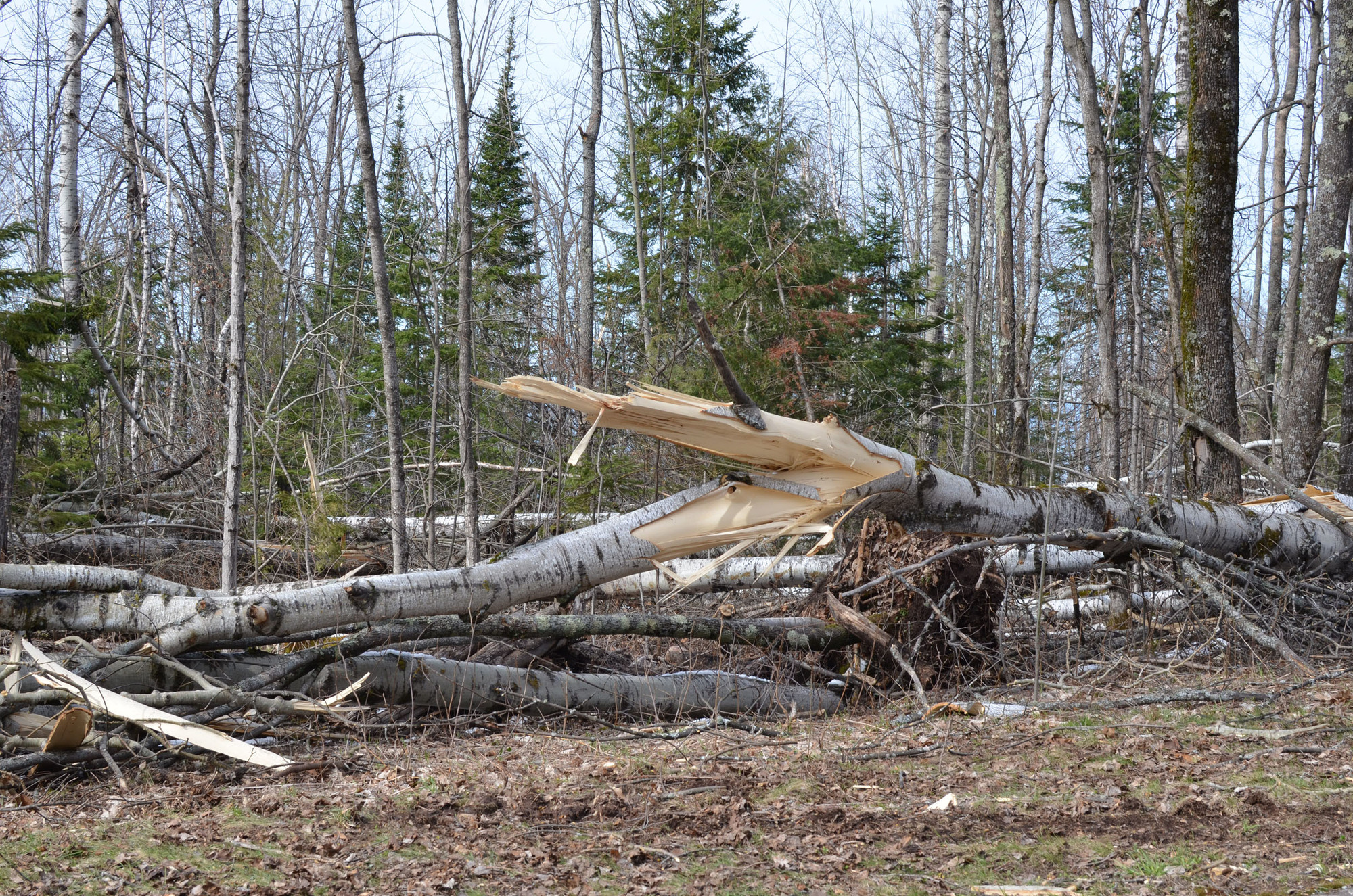Some of the trees twisted and felled at Porcupine Mountains Wilderness State