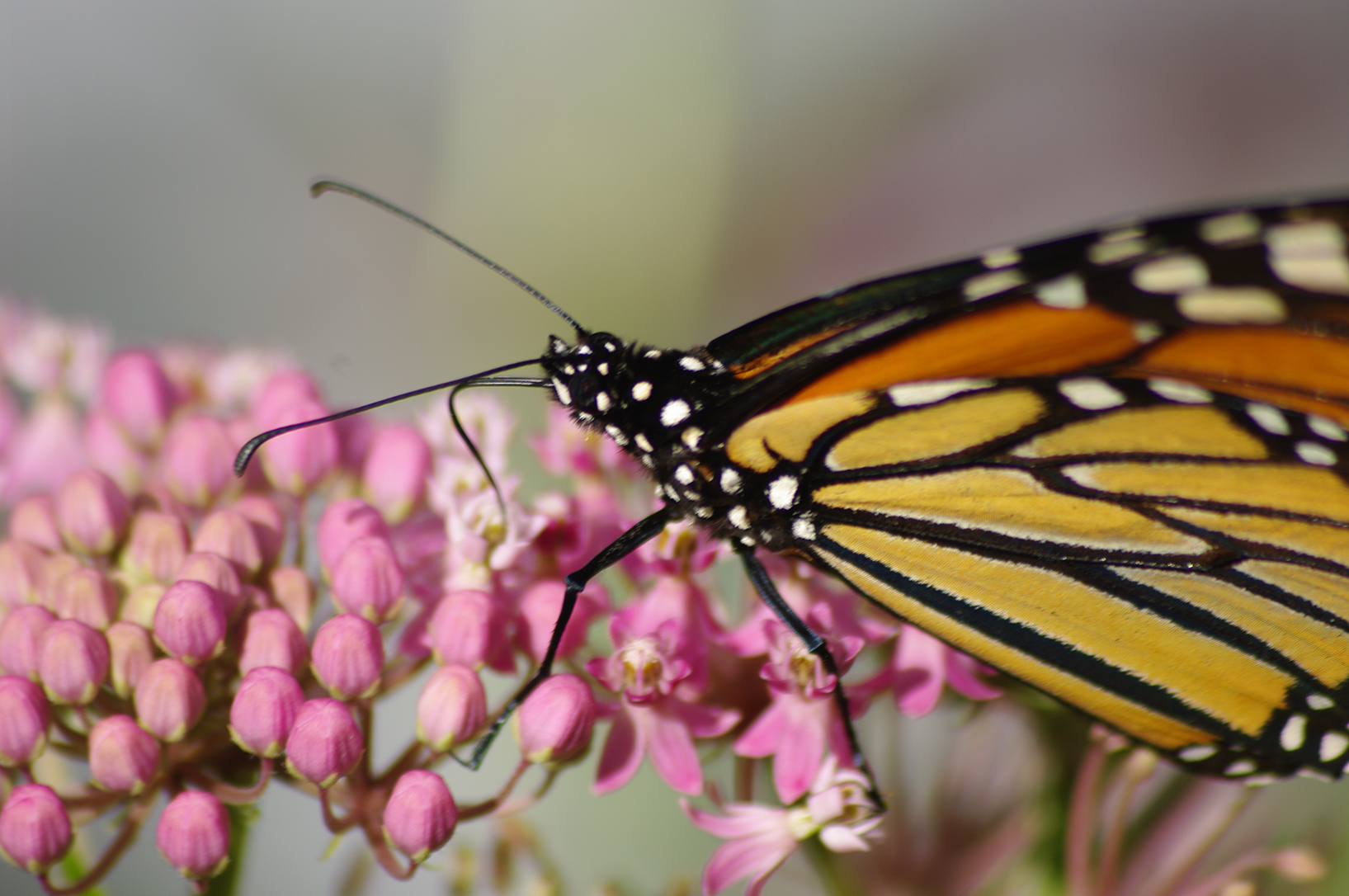 A monarch butterfly is shown.
