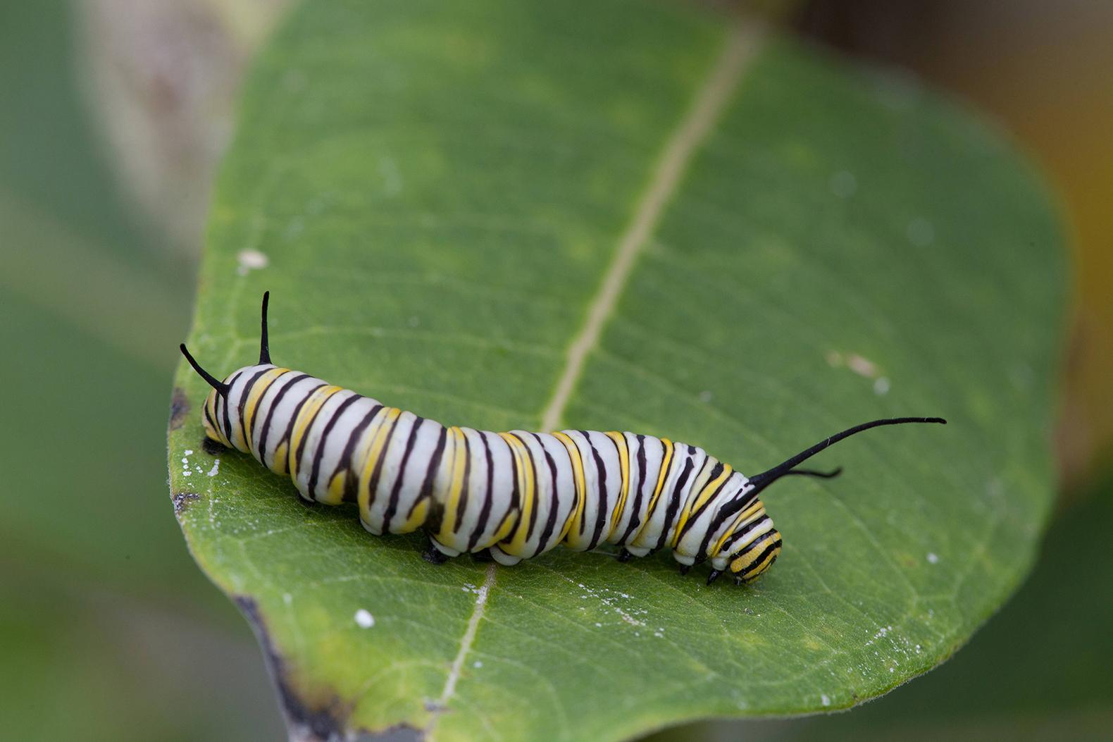 Monarch butterfly larvae feeding on milkweed. (U.S. Fish and Wildlife Service photo)