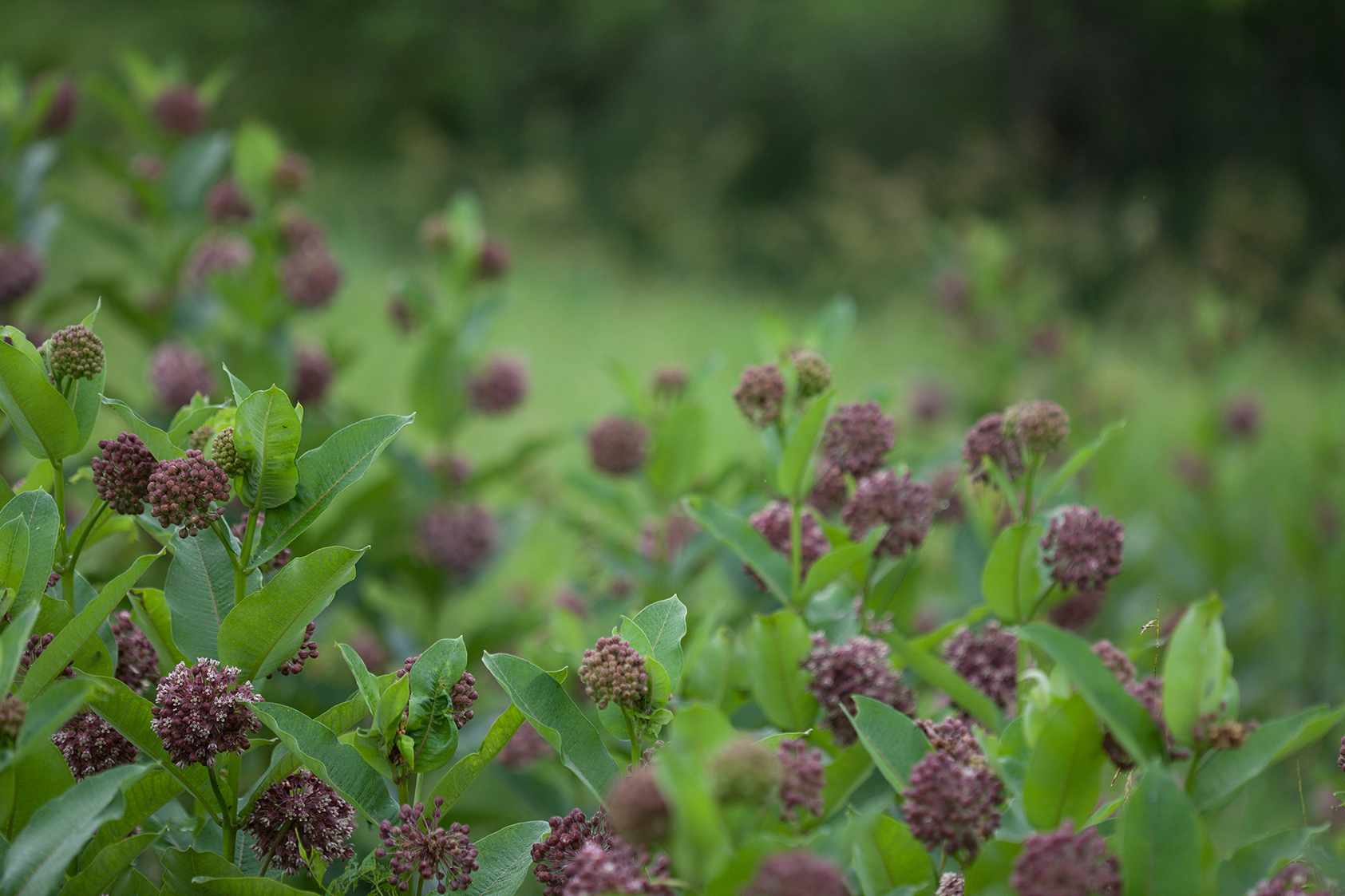 Common milkweed plants growing in the field. (U.S. Fish and Wildlife Service photo)
