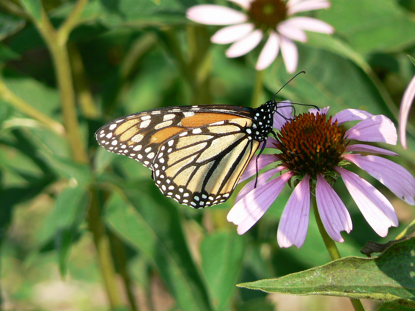 A monarch butterfly is shown on a flower. (U.S. Fish and Wildlife Service photo)