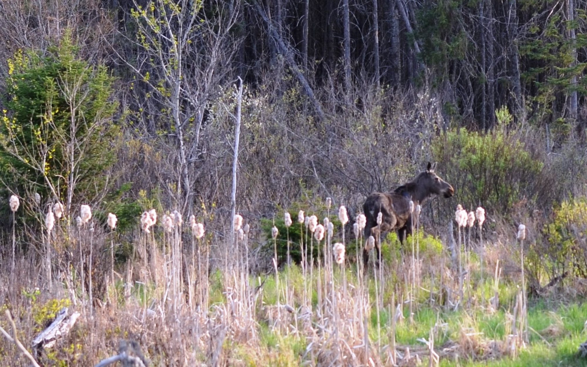 A moose stands not far off U.S. 41 near Humboldt in Marquette County.