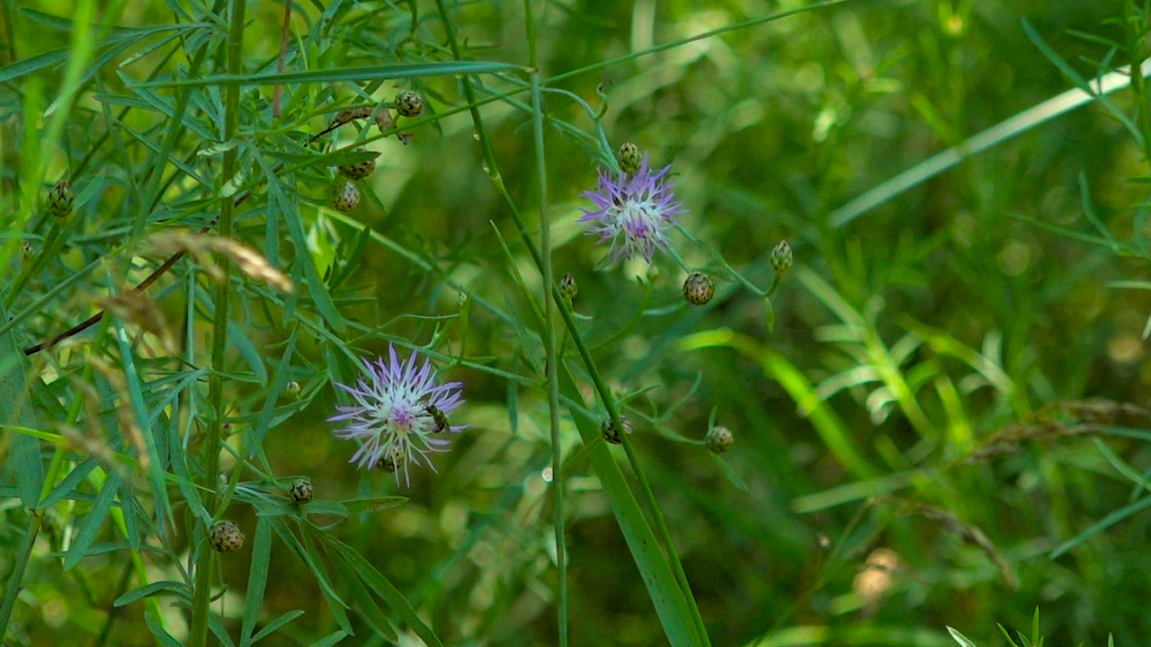 Spotted knapweed is an invasive plant that emits toxins into the soil, preventing other plants from growing.