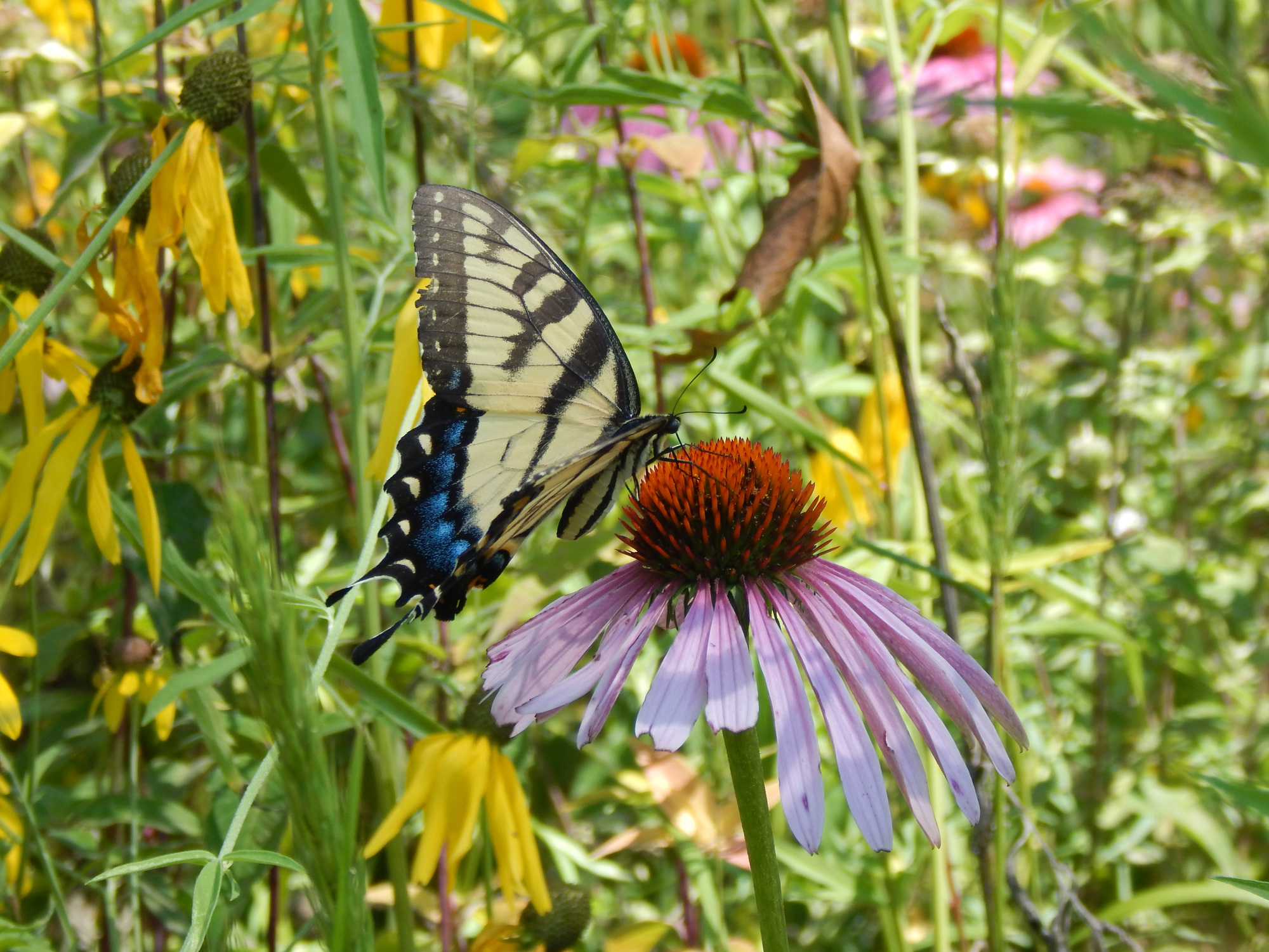 An elegant-looking yellow swallowtail butterfly is sitting on a purple flower.
