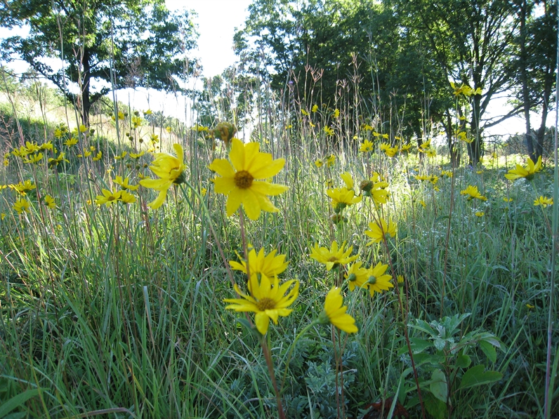 A group of bright yellow western sunflowers is shown.
