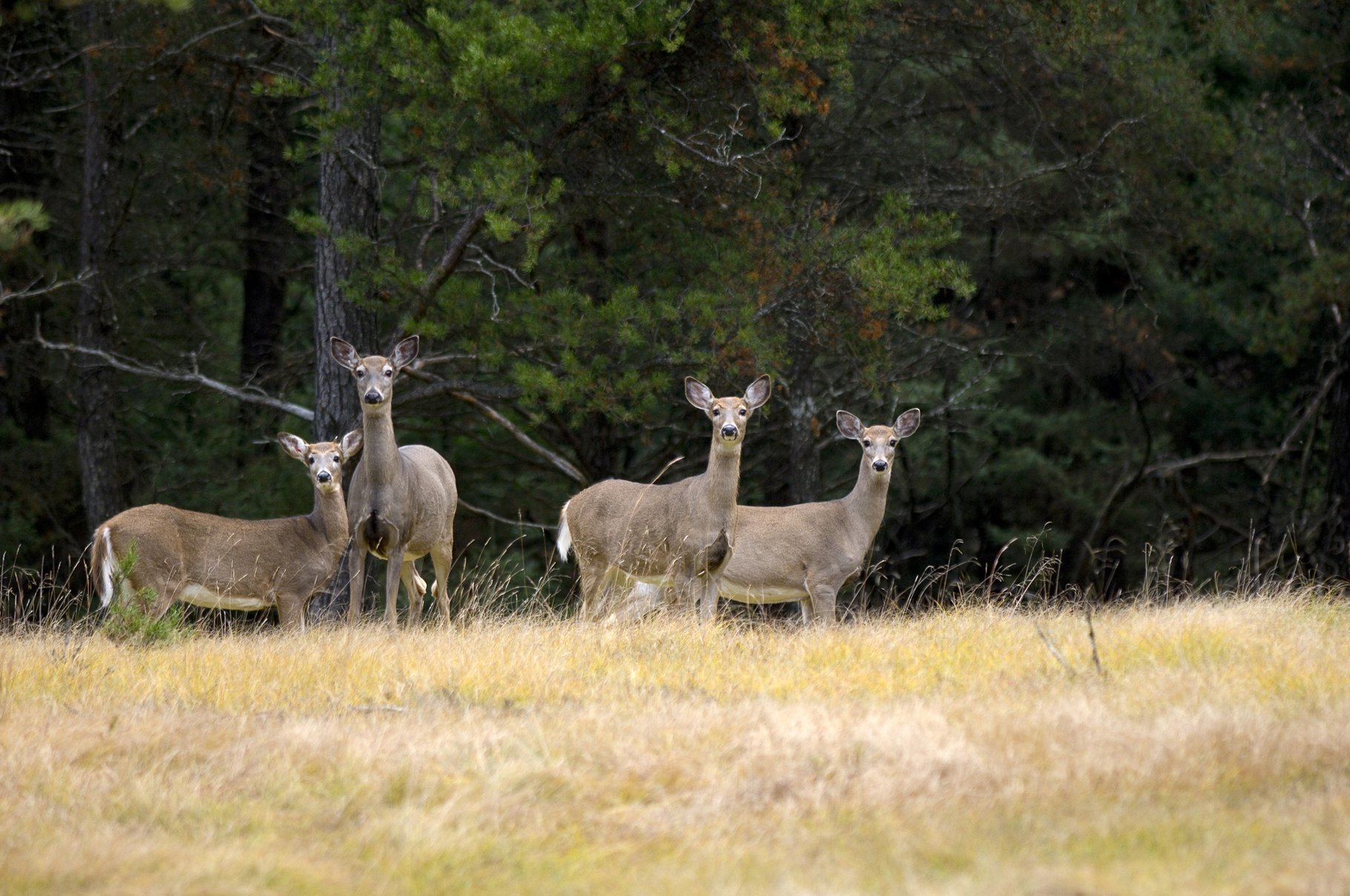 showcasing the dnr continuing the fight against bovine tuberculosismichigan white tailed deer in the field
