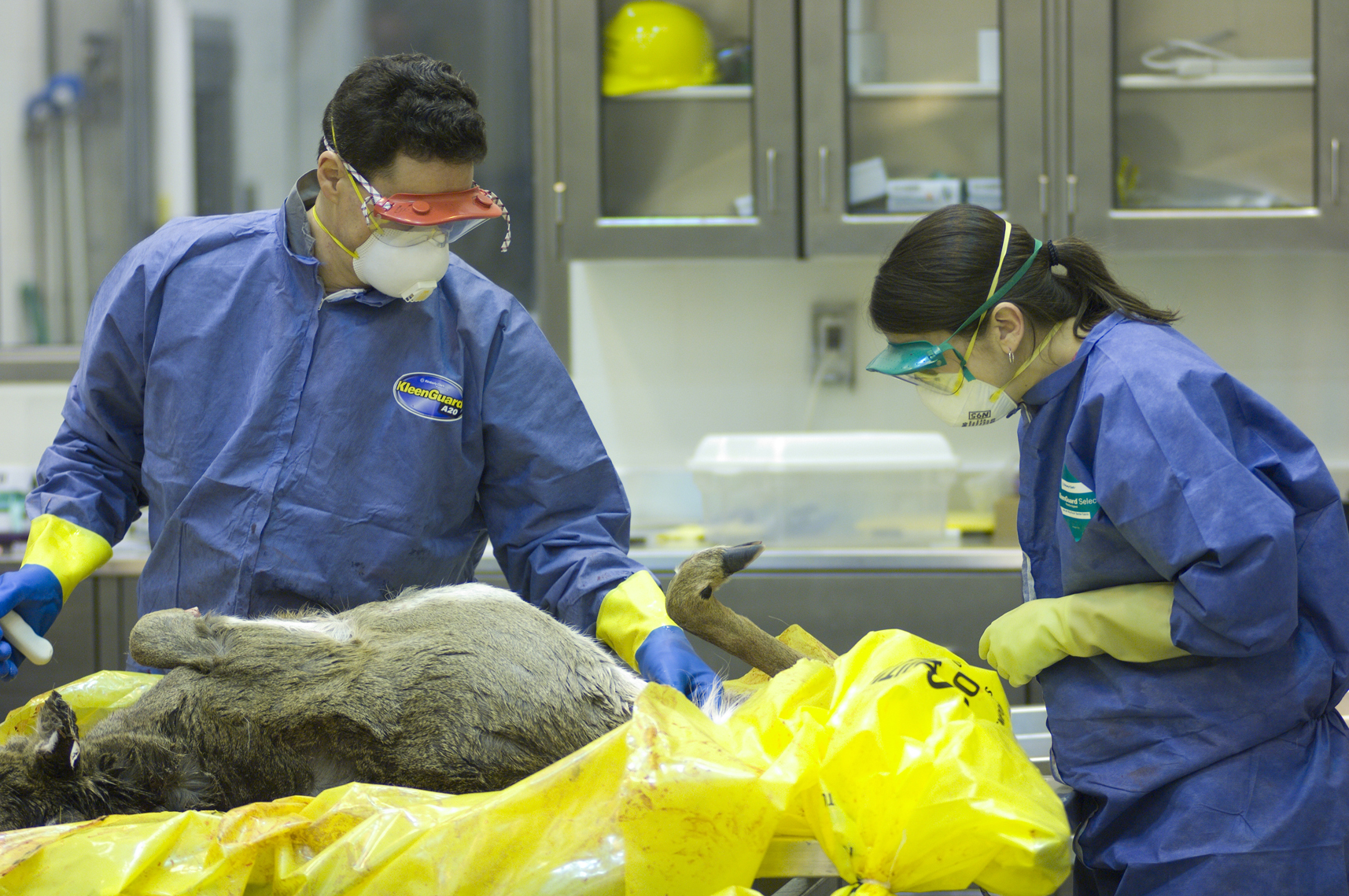 Technicians at the Michigan Department of Natural Resources Wildlife Disease Laboratory in Lansing examine a white-tailed deer.