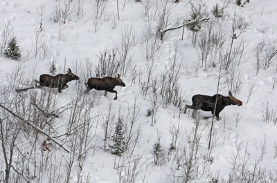 A moose cow and two calves are shown in this aerial photo from Marquette County.