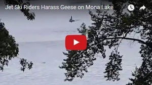 Geese on Mona Lake