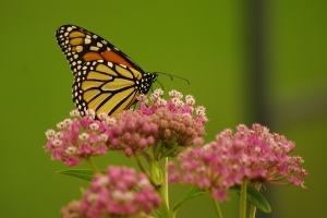 monarch butterfly on pink milkweed flower