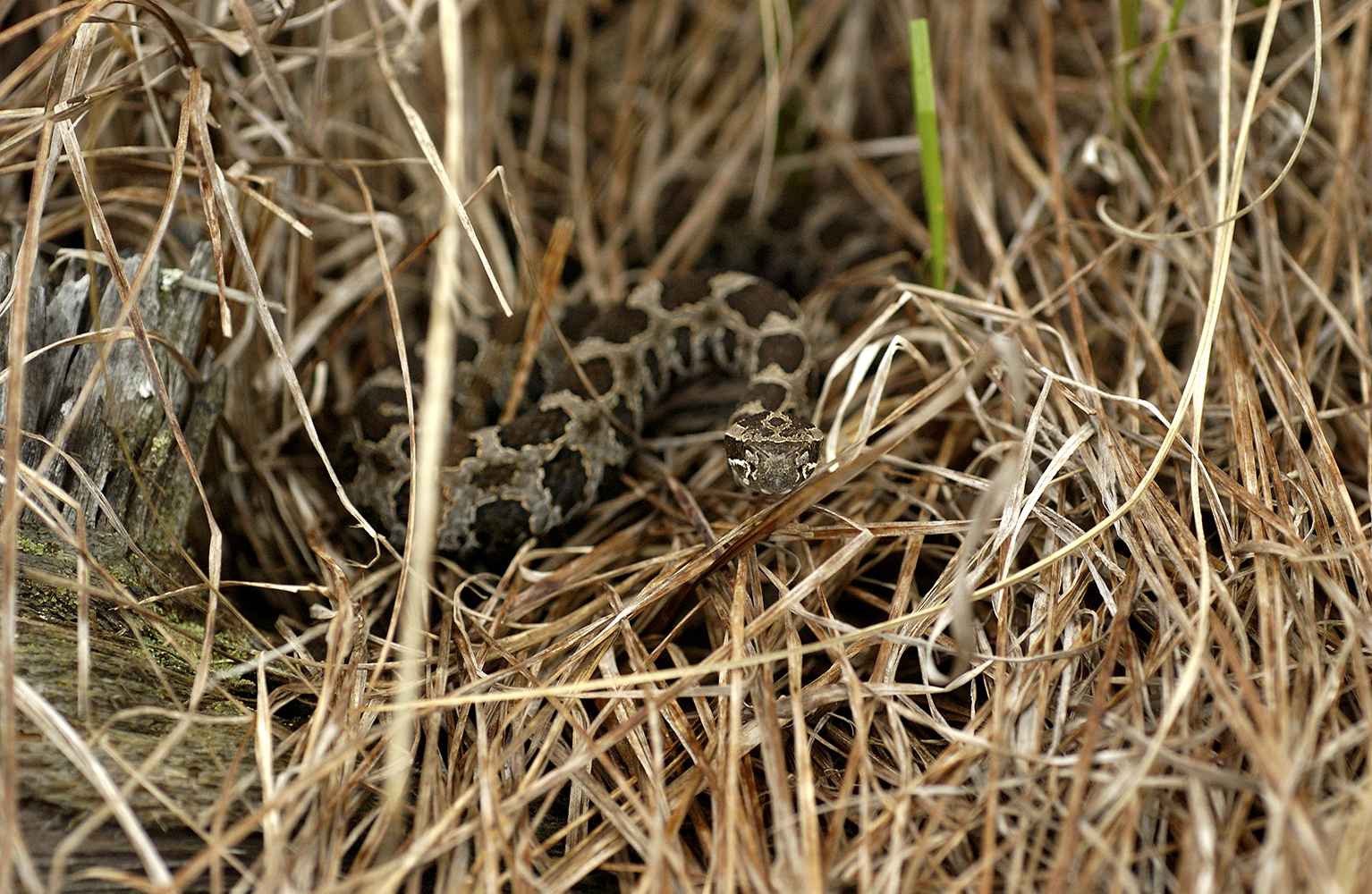 The massasauga rattlesnake is Michigan's only venomous snake.