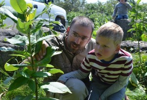 father and son check for monarch larva and eggs on milkweed plants