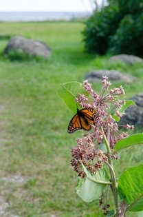 monarch butterfly on milkweed with Lake Michigan in background