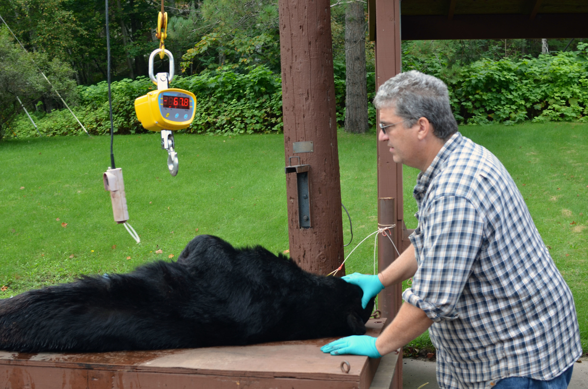 Michigan DNR wildlife biologist Brian Roell gets ready to weigh a black bear at the DNR's Marquette Customer Service Center in fall 2016.