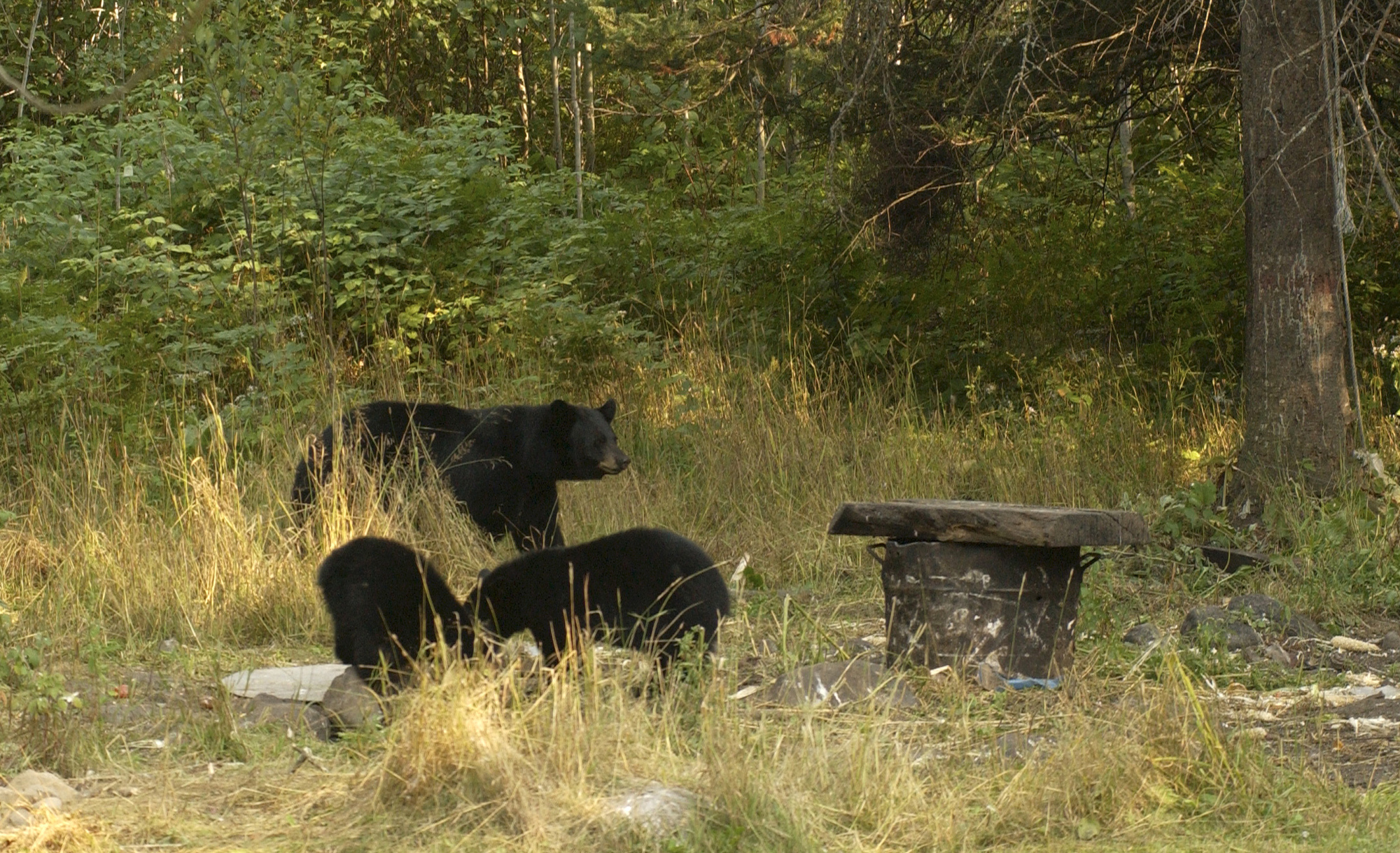 A sow and two black bear cubs investigate a grassy area where garbage has been left.