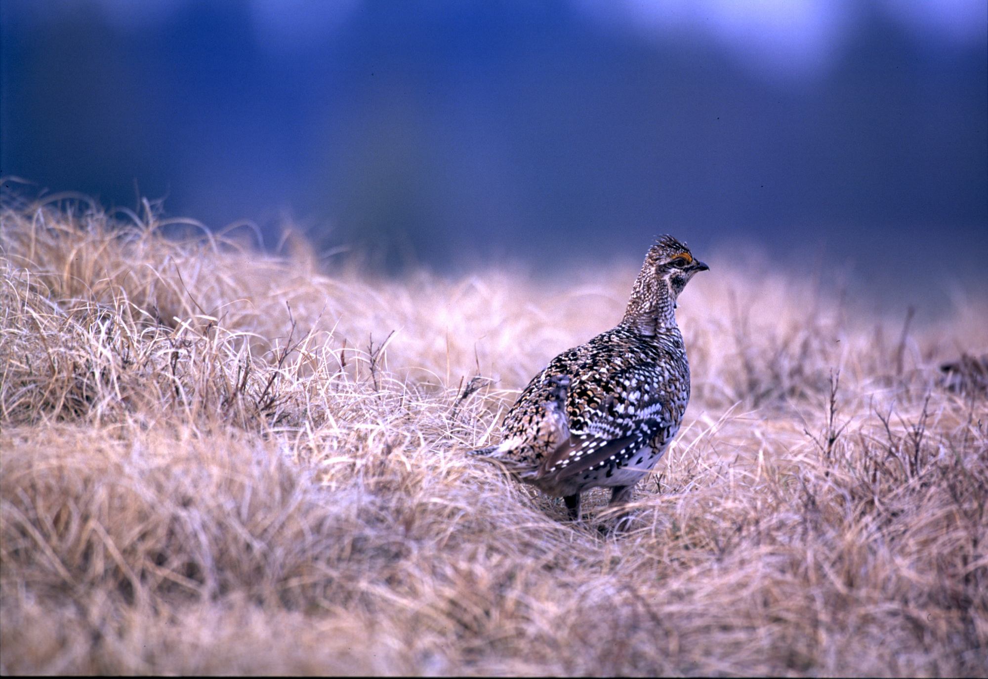 Sharp-tailed grouse are found in greatest concentrations in the Upper Peninsula in Chippewa and Schoolcraft counties.