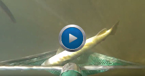 screenshot of Paint Creek survey video, featuring brown trout going into net underwater