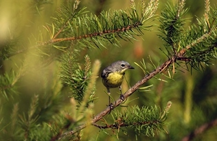 closeup view of Kirtland's warbler in jack pine branches