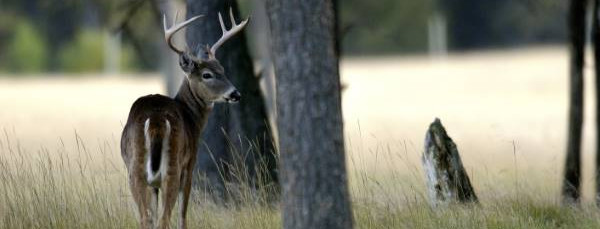 White-tailed Deer Buck Near A Field