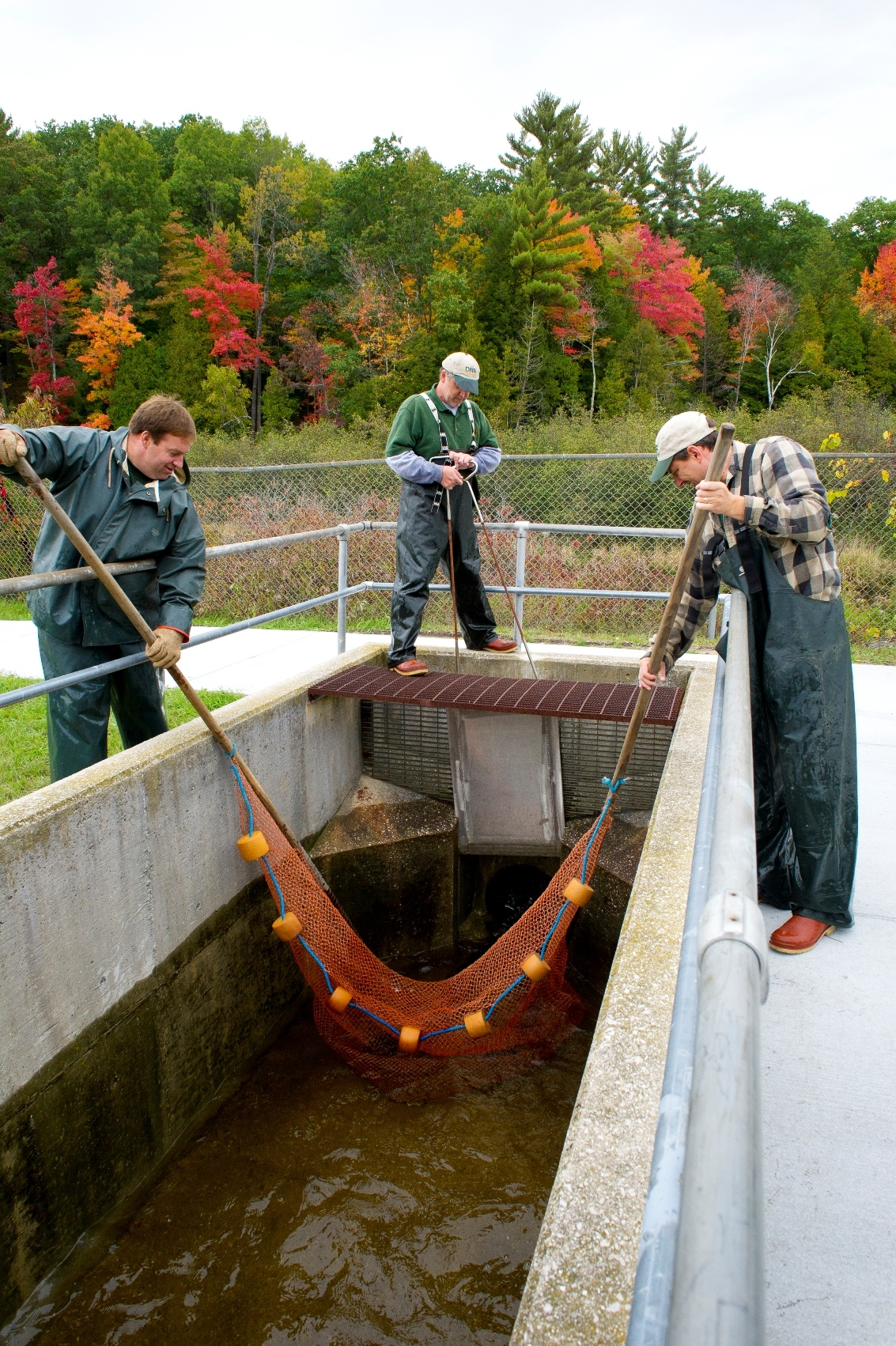 Michigan Department of Natural Resources workers net salmon at the Little Manistee River weir in Manistee County.