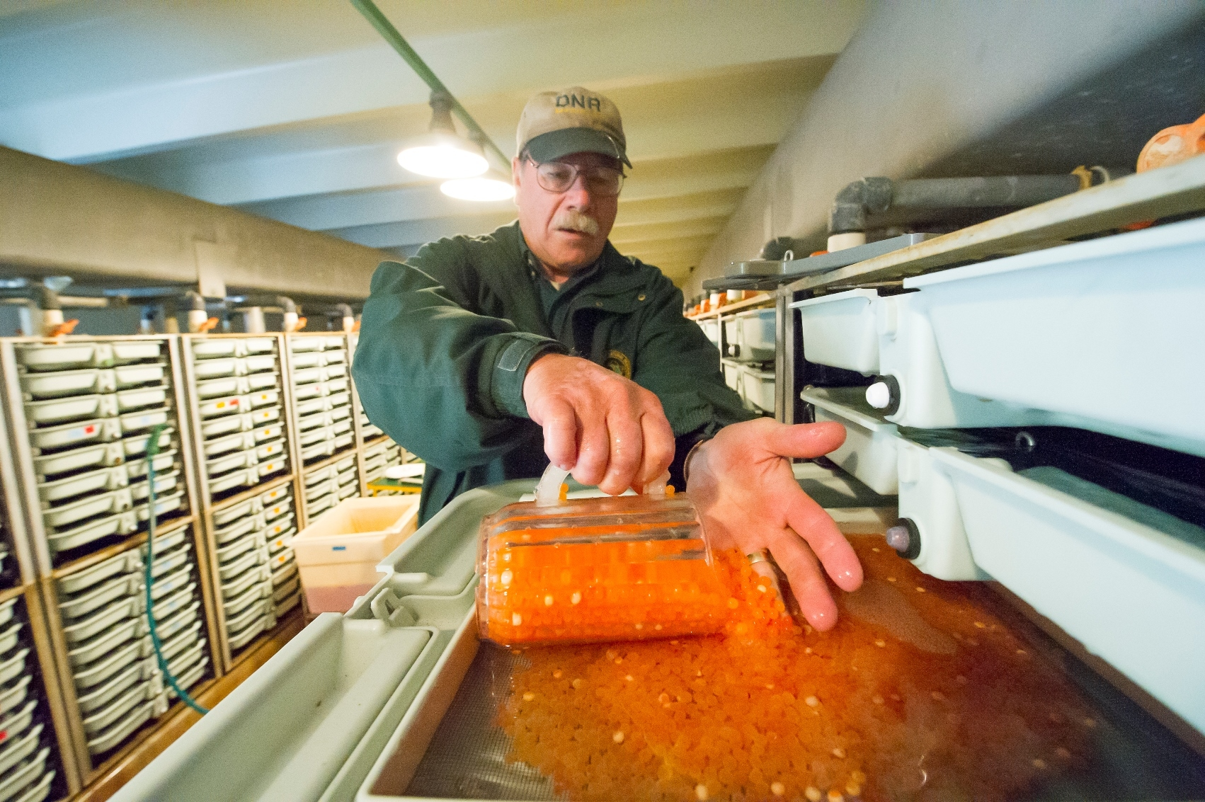 A Michigan Department of Natural Resources worker scoops salmon eggs into a container at the Platte River weir.