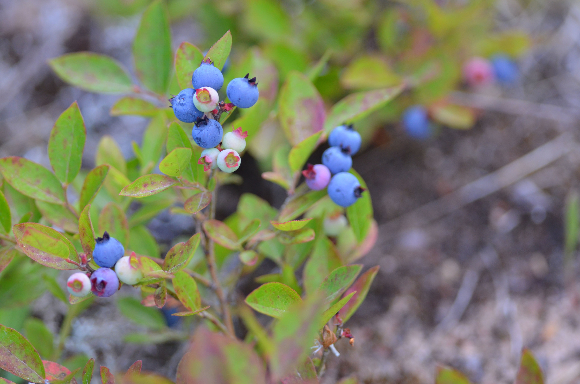 Blueberries are one plant species typically found in jack pine habitat.