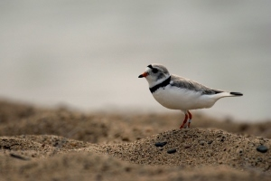 piping plover on beach