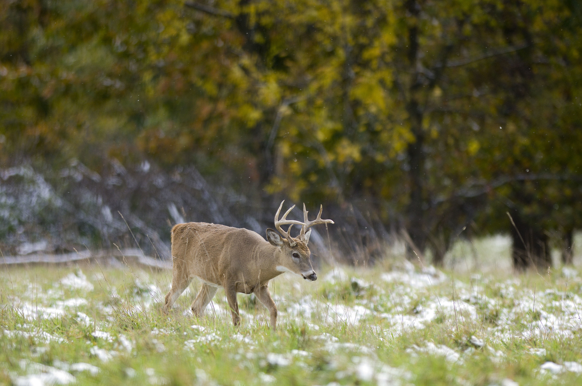 there are additional incentives for landowner Hunting Access Program enrollment for those who live in deer management units affected by bovine TB.
