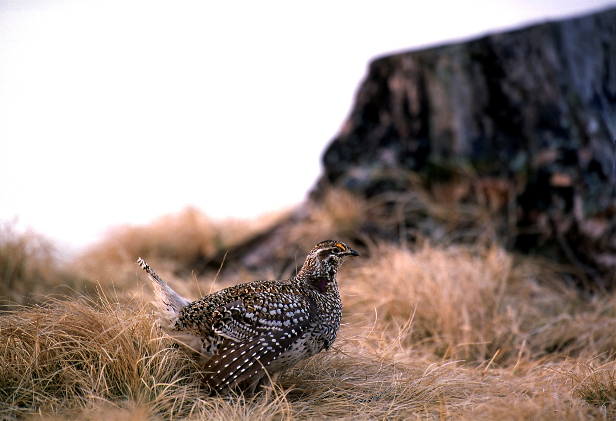 The Michigan DNR Hunting Access Program is available in parts of Chippewa and Mackinac counties in the eastern U.P. for hunting sharp-tailed grouse.