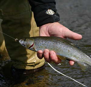 Arctic Grayling in fisherman's hand